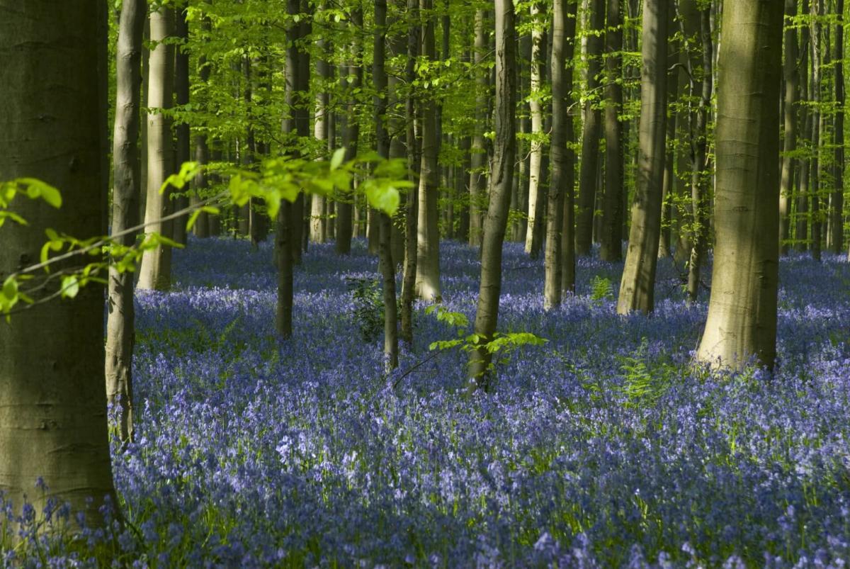 Fleur De Sous Bois Bleue bois de hal   stad halle
